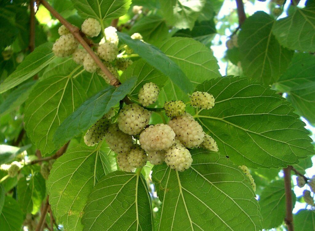 eperfa gyógyászati tulajdonságai magas vérnyomás esetén magas vérnyomás és oxigén