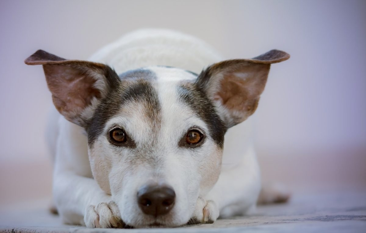 A szívizombetegség tünetei és kezelése kutyáknál - HáziPatika