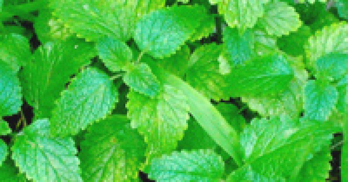 10 gyógynövény, ami azonnal leviszi a magas vérnyomást